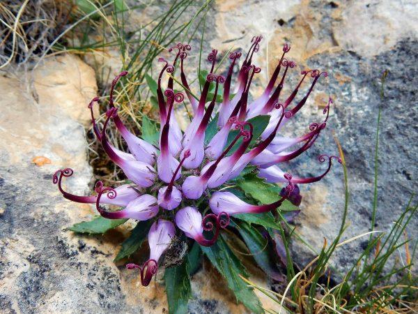 73607847 – physoplexis comosa (devilâ??s claw), a rare alpine flower