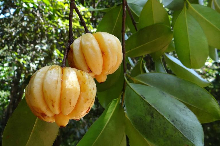 garcinia cambogia wie funktioniert