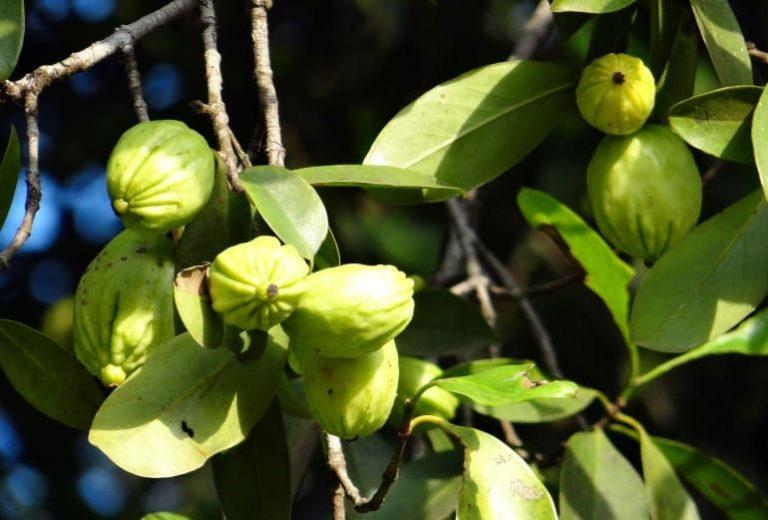 Fragen zu reinem Garcinia Cambogia-Extrakt
