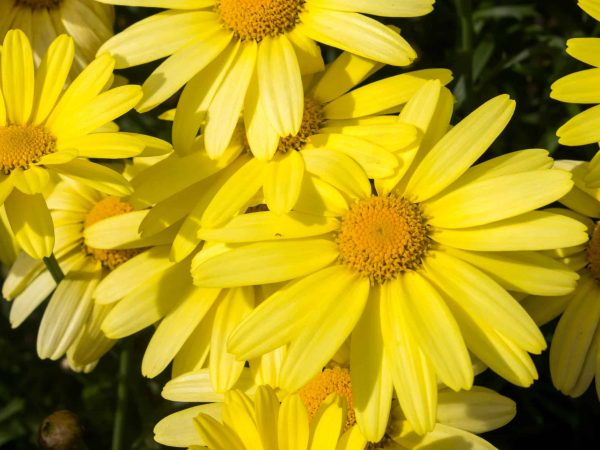 30861766 – arnica montana, european flowering plant used in herbal medicine