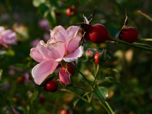 Wildrose Hagebutte