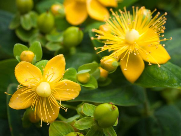 St. John's Wort flowering plant in the background of green leaves