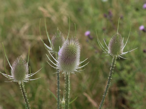 Close up of wild teasel or or fullers teasel (Dipsacus fullonum)
