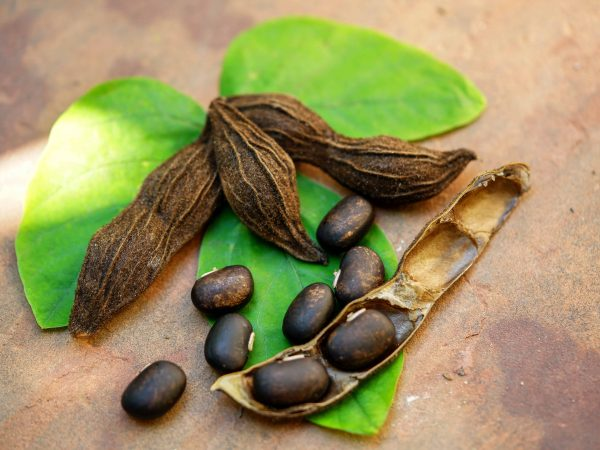 The seeds of Velvet bean or Mucuna pruriens have been used for traditional medicine