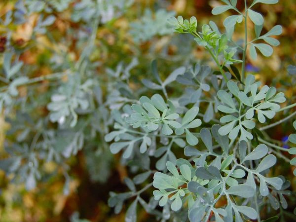 Die Pflanze solltest du tagsüber nicht ernten, denn es kann zu schmerzhaften Hautreizungen kommen. Am besten schützt du dich mit Handschuhen. Leichter Kontakt mit der Pflanze sollte ungefährlich sein. (Bildquelle: 123rf.com / 39435290)