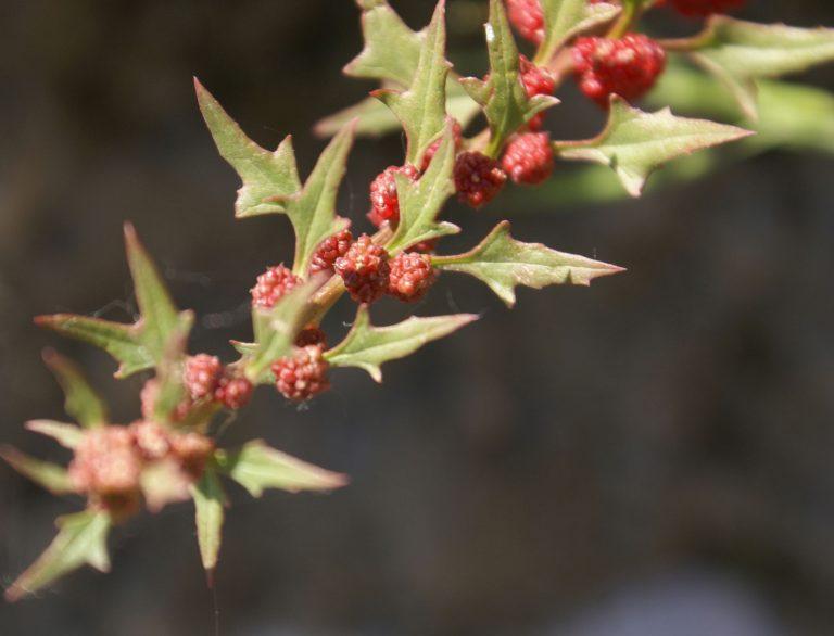 Chenopodium