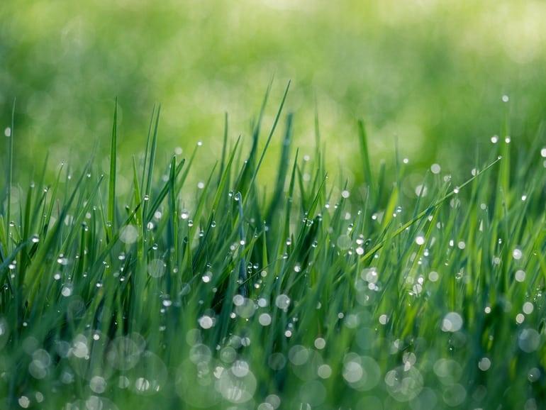 Grassaftpulver
