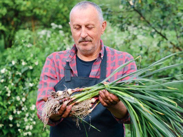 farmer holding in hands harvest of organic fresh garlic.