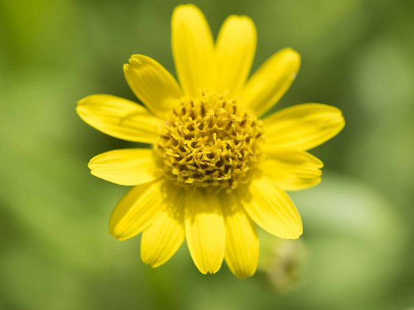 Arnika arnica montana medicinal plant