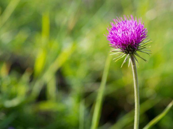 20997142 – single purple alpine thistle broomrape flower on green