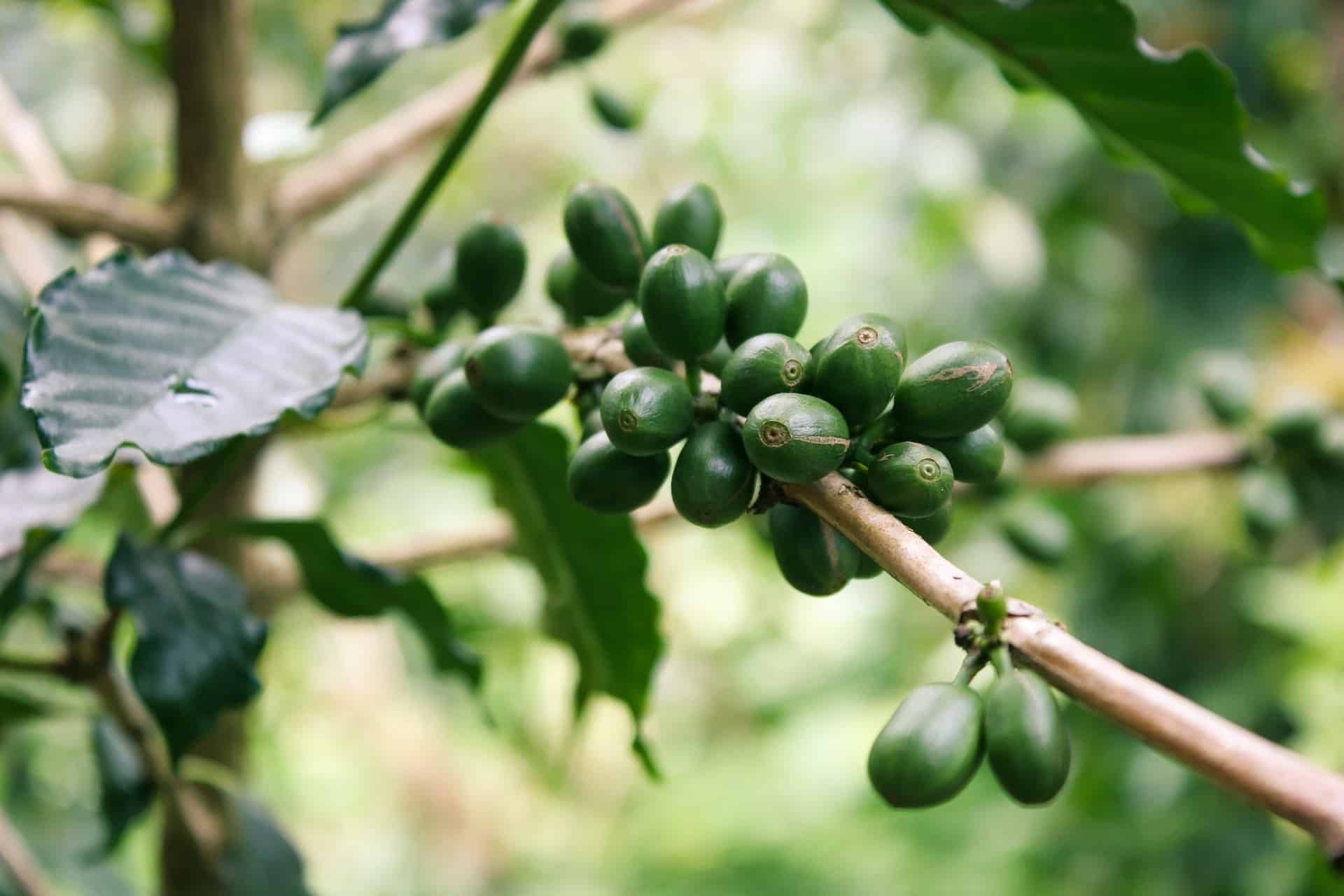 Grüner Kaffee