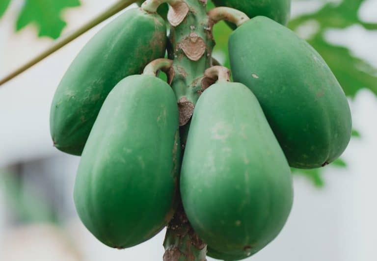 Papaya Enzym-1