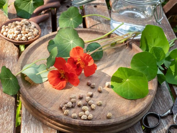 Nasturtium or Tropaeolum majus seeds with fresh flowers and leaves in the background – ingredients to prepare herbal tincture