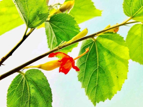 104501969 – a branch with green leaves and flowers of the gymnema sylvestre plant. gymnema is a most effective herbal medicine for diabetes and obesity in the ayurvedic medicine system
