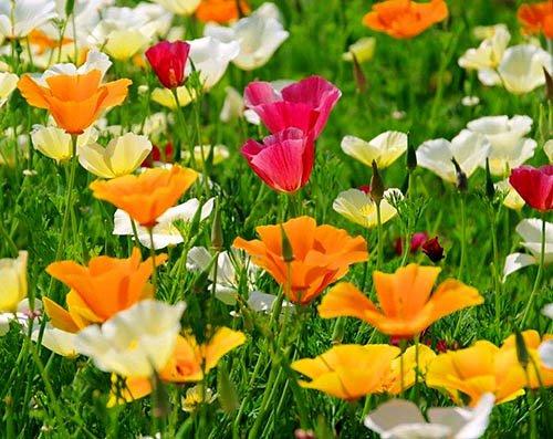 Kalifornischer Mohn Mix - Eschscholzia californica - Mohn - 500 Samen